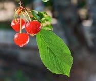 在雨以后的樱桃 库存图片