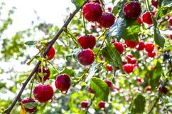 在雨以后的樱桃 免版税库存照片