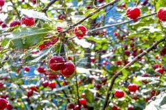 在雨以后的樱桃 库存照片