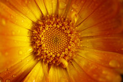 在雨以后的橙色金盏草 免版税库存照片