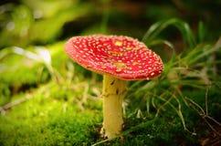 在雨以后的毒红色蘑菇 库存照片