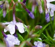 在雨以后的淡紫色花在草 库存图片