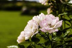 在雨以后的玫瑰 库存照片