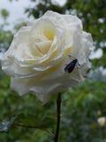 在雨以后的白玫瑰 免版税图库摄影
