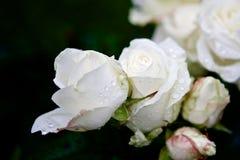在雨以后的白色玫瑰花蕾 图库摄影
