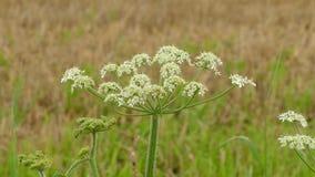 在雨以后的白花在领域 免版税库存照片