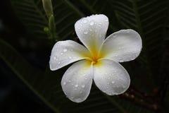在雨以后的白花 免版税库存图片