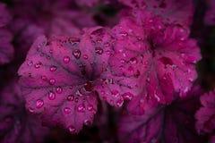 在雨以后的矾根属植物 图库摄影