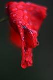 在雨以后的红色猩红色鸦片花 库存照片