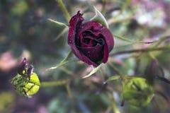 在雨以后的红色玫瑰 免版税库存图片