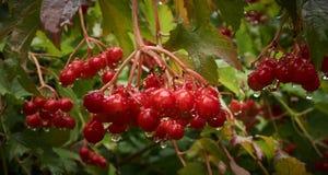 在雨以后的红色荚莲属的植物 免版税库存图片