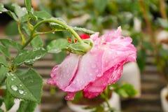 在雨以后的罗斯在我的庭院里 免版税库存照片