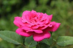 在雨以后的美丽的玫瑰色花 库存图片