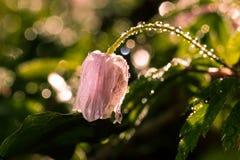 在雨以后的花在绿色醉汉 库存图片