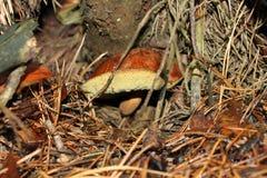 在雨以后的蘑菇 库存图片