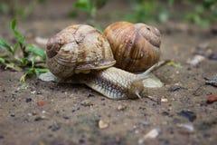在雨以后的蜗牛 库存照片