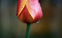 在雨以后的郁金香 免版税图库摄影