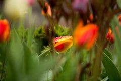 在雨以后的野生郁金香 库存图片
