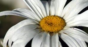 在雨以后的雏菊 库存照片