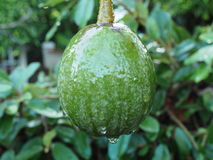 在雨以后的鲕梨 免版税库存照片