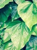 在雨以后的绿色常春藤叶子 免版税库存照片