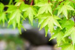 在雨以后的绿色槭树叶子 免版税库存图片