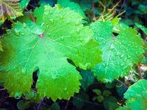 在雨以后的绿色湿葡萄叶子 免版税库存照片