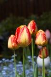 在雨以后的黄色红色郁金香与雨投下特写镜头 库存图片
