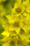 在雨以后的黄色花 库存图片