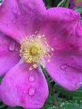 在雨以后的紫色花 库存图片
