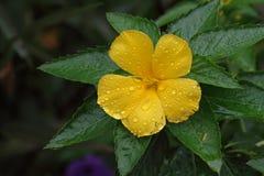 在雨以后的黄色花 免版税库存照片