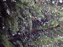 在雨以后的Spiderweb 库存照片