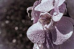 在雨水滴的兰花  花和它的被点燃的内部、秀丽和宏指令 库存图片