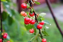 在雨II以后的樱桃 库存图片