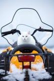在雪上电车的猫 免版税库存图片