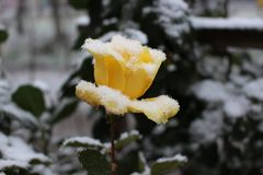 在雪下的一朵黄色玫瑰 免版税库存照片