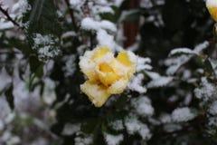 在雪下的一朵黄色玫瑰 库存图片