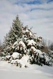 在雪下的云杉在晴天 库存照片