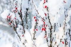 在雪下的伏牛花红色莓果分支 免版税库存图片