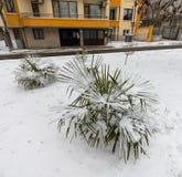 在雪下的南部的植物在冬天波摩莱,保加利亚 免版税库存照片