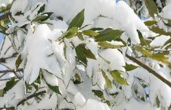 在雪下的古希腊月桂树 ??meteora 免版税库存图片