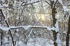 在雪下的在日落的分支和阳光在森林里 库存照片