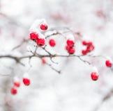 在雪下的山楂树莓果 免版税库存照片