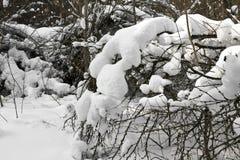 在雪下的布什 免版税库存照片