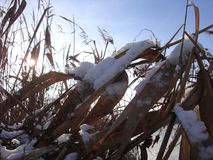 在雪下的干燥棕色河芦苇在晴朗的冬天光芒 美丽的芦苇缨子 免版税库存照片