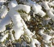 在雪下的杉木森林 库存照片