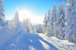 在雪下的杉树在山 库存照片