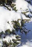 在雪下的杉树 免版税图库摄影