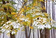 在雪下的栗树 库存照片