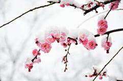 在雪下的桃红色李子花 免版税库存照片